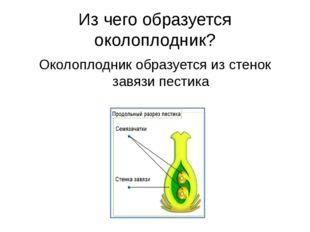 Из чего образуется околоплодник? Околоплодник образуется из стенок завязи пес