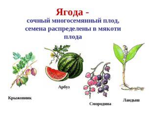 Арбуз Крыжовник Ягода - сочный многосемянный плод, семена распределены в мяко