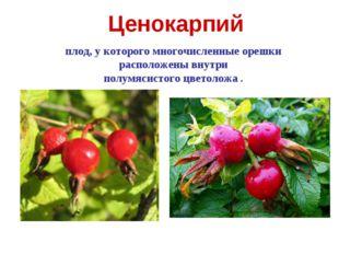 Ценокарпий плод, у которого многочисленные орешки расположены внутри полумяси
