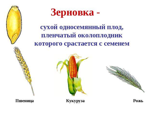 Зерновка - сухой односемянный плод, пленчатый околоплодник которого срастаетс...