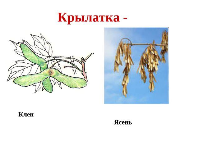 Крылатка - Клен Ясень