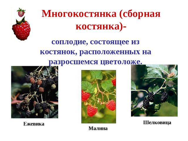 Многокостянка (сборная костянка)- соплодие, состоящее из костянок, расположен...