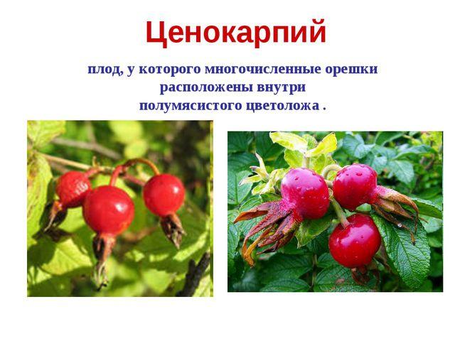 Ценокарпий плод, у которого многочисленные орешки расположены внутри полумяси...