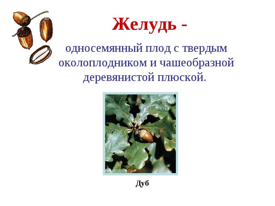 Желудь - Дуб односемянный плод с твердым околоплодником и чашеобразной деревя...