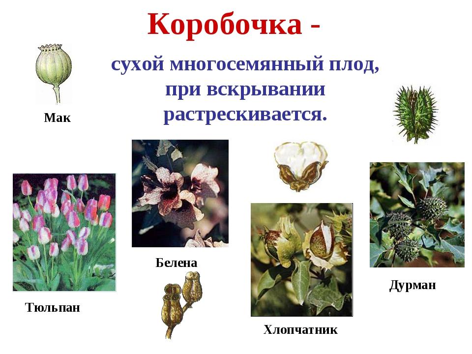 Коробочка - сухой многосемянный плод, при вскрывании растрескивается. Тюльпан...