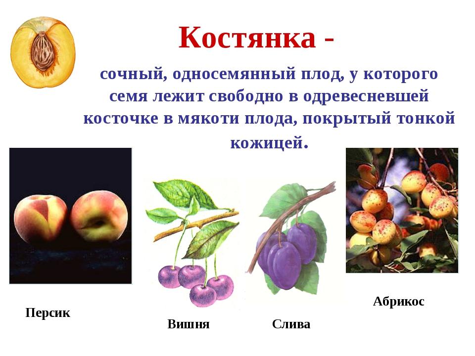 Костянка - сочный, односемянный плод, у которого семя лежит свободно в одреве...
