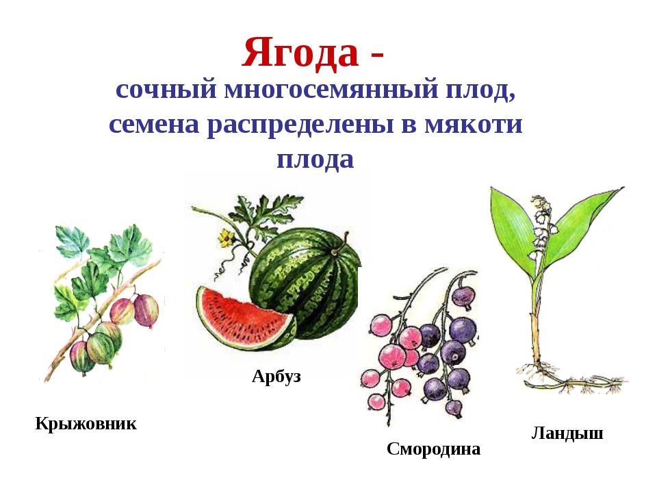 Арбуз Крыжовник Ягода - сочный многосемянный плод, семена распределены в мяко...
