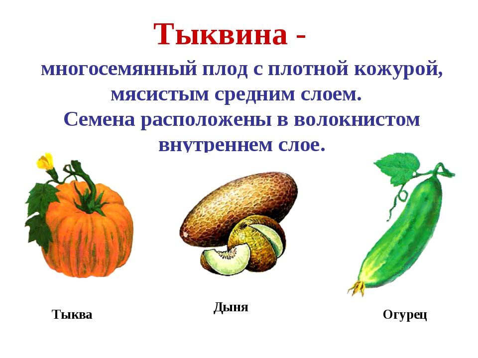 Тыквина - многосемянный плод с плотной кожурой, мясистым средним слоем. Семен...