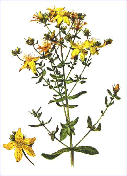 Зверобой продырявленный - Лечение травами (травы)