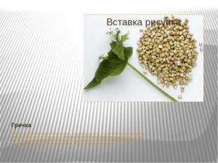 Гречка Гречка – источник углеводов, белков, жиров, витаминов группы В, микроэ