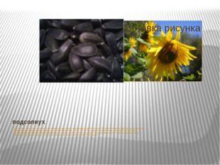 подсолнух Подсолнечное семя – один из самых распространенных, доступных и изл