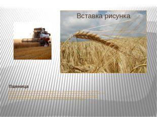 Пшеница Целебные свойства пшеницы очень ценили знахари Древней Руси. « Все вн