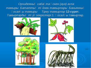 Орхидеяның сабақта өскен (ауа) аспа тамырыБататтың түйнек тамырларыБанья