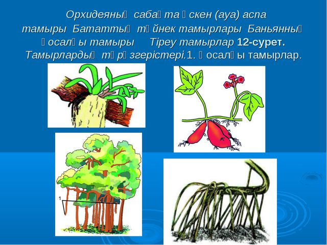 Орхидеяның сабақта өскен (ауа) аспа тамырыБататтың түйнек тамырларыБанья...