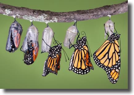 На этой фотографии показаны стадий метаморфоз, которую бабочка монарх проходит когда выбирается из ее куколки.