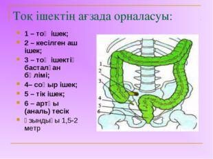Тоқ ішектің ағзада орналасуы: 1 – тоқ ішек; 2 – кесілген аш ішек; 3 – тоқ іше