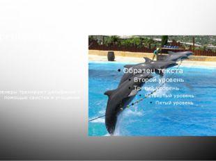 тренировка Тренеры тренируют дельфинов с помощью свистка и угощения