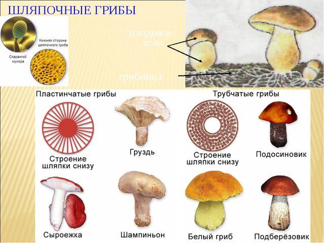 ШЛЯПОЧНЫЕ ГРИБЫ грибница плодовое тело