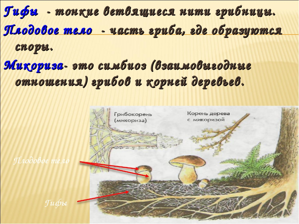 Гифы - тонкие ветвящиеся нити грибницы. Плодовое тело - часть гриба, где обра...