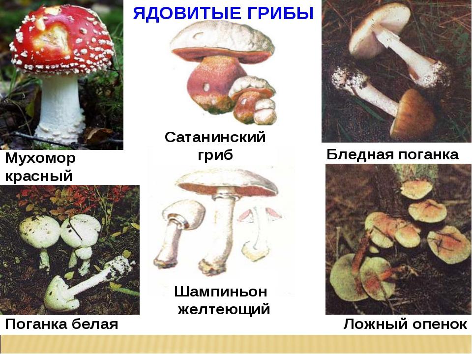 фото и описание несъедобных грибов полгода приходила форму
