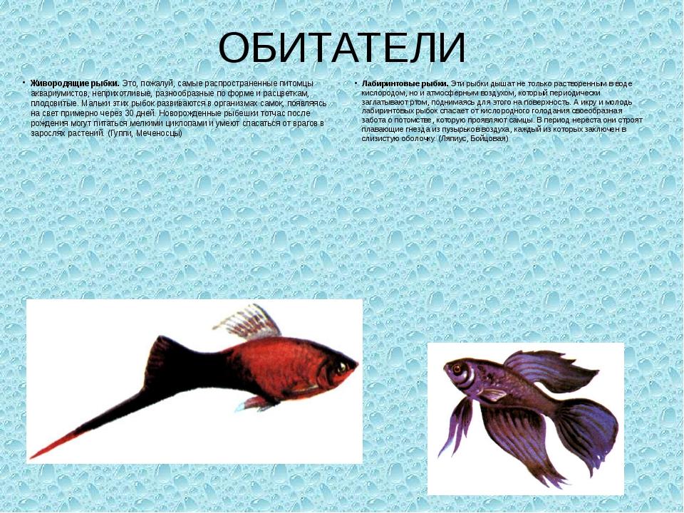 ОБИТАТЕЛИ Живородящие рыбки.Это, пожалуй, самые распространенные питомцы акв...