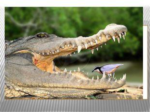 Правда ли, что у крокодила острые зубы?