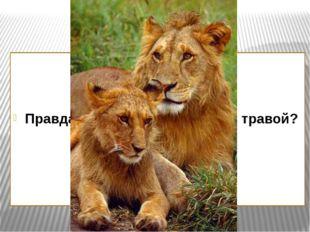 Правда ли, что львы питаются травой?