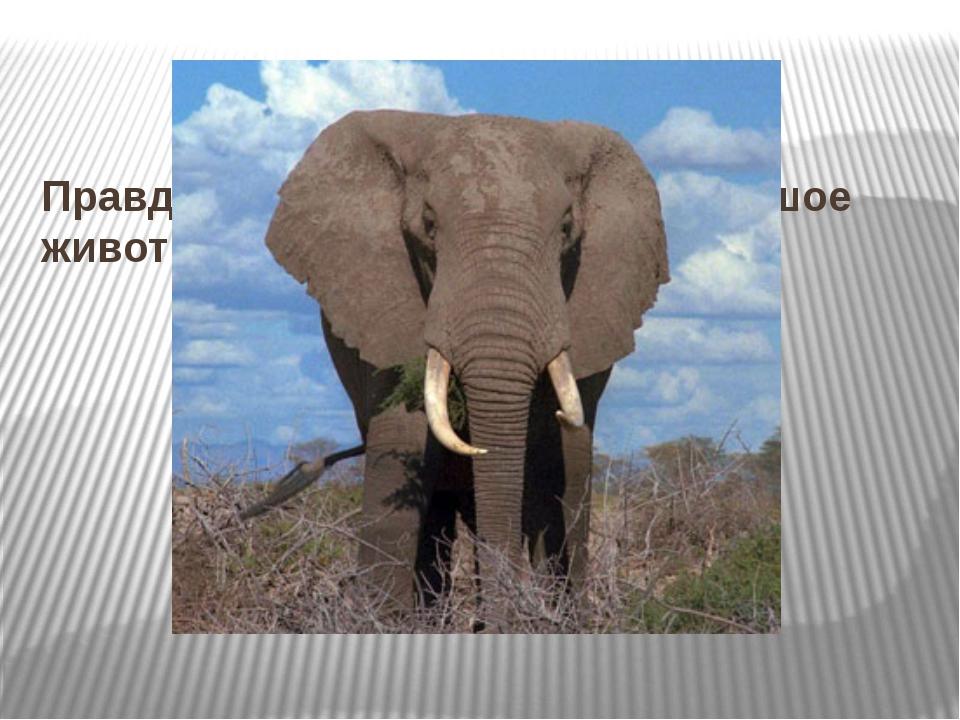 Правда ли, что слон – самое большое животное на Земле?