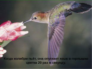 Когда колибри пьёт, она опускает язык в горлышко цветка 20 раз в секунду.