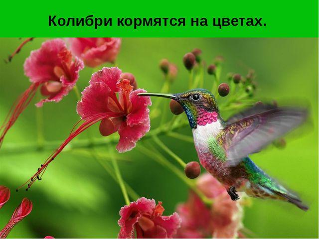 Колибри кормятся на цветах.