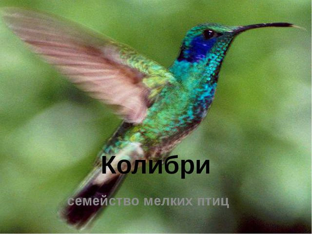 Колибри семействомелкихптиц