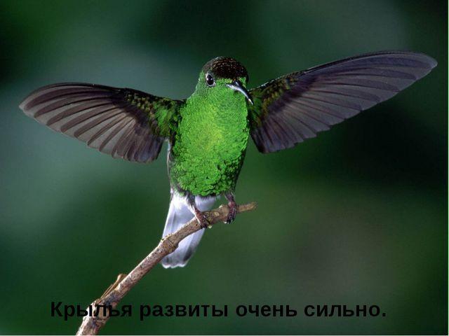 Крылья развиты очень сильно.