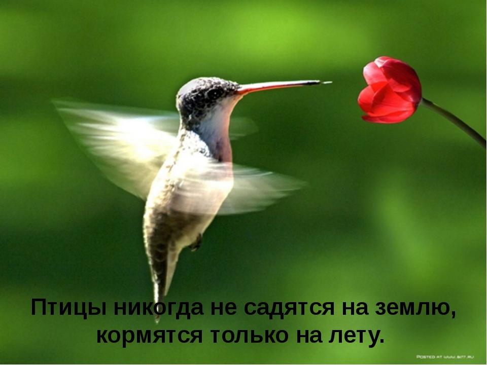Птицы никогда не садятся на землю, кормятся только на лету.