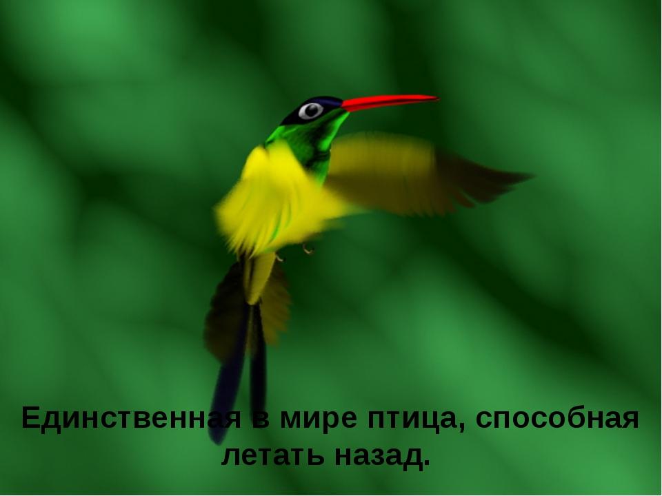 Единственная в мире птица, способная летать назад.