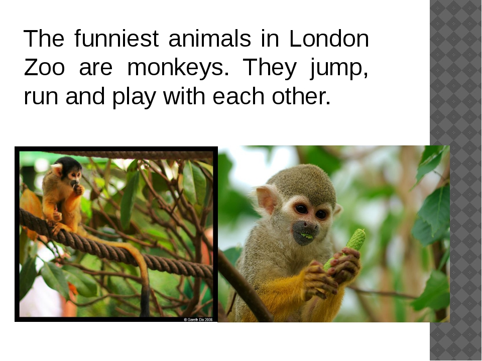 The funniest animals in London Zoo are monkeys. They jump, run and play with...