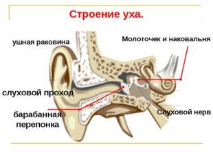 Строение уха. ушная раковина слуховой проход барабанная перепонка Молоточек и