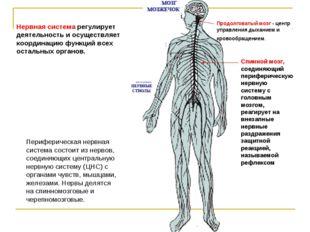 Нервная система регулирует деятельность и осуществляет координацию функций вс