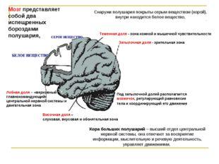 Лобная доля – «верховный главнокомандующий» центральной нервной системы и дви