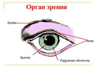 Веки Бровь Зрачок Радужная оболочка Орган зрения
