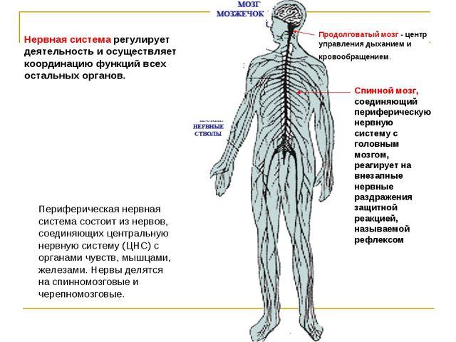 Нервная система регулирует деятельность и осуществляет координацию функций вс...