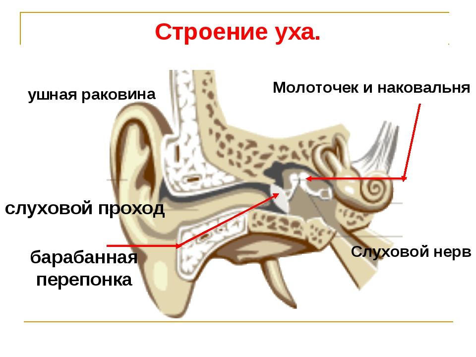 Строение уха. ушная раковина слуховой проход барабанная перепонка Молоточек и...