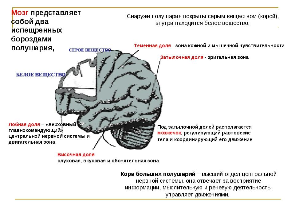 Лобная доля – «верховный главнокомандующий» центральной нервной системы и дви...