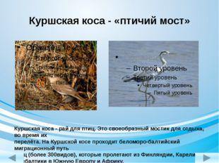 Куршская коса - «птичий мост» Куршская коса - рай для птиц. Это своеобразный