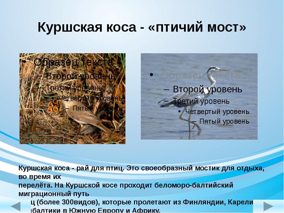 Куршская коса - «птичий мост» Куршская коса - рай для птиц. Это своеобразный...