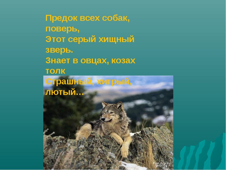 Предок всех собак, поверь, Этот серый хищный зверь. Знает в овцах, козах толк...