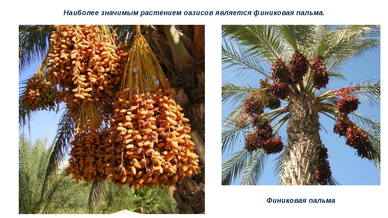 Наиболее значимым растением оазисов является финиковая пальма. Финиковая пальма