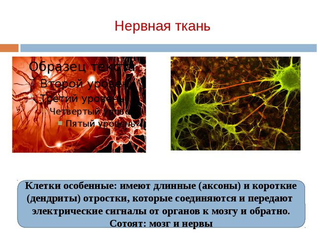 Нервная ткань Клетки особенные: имеют длинные (аксоны) и короткие (дендриты)...
