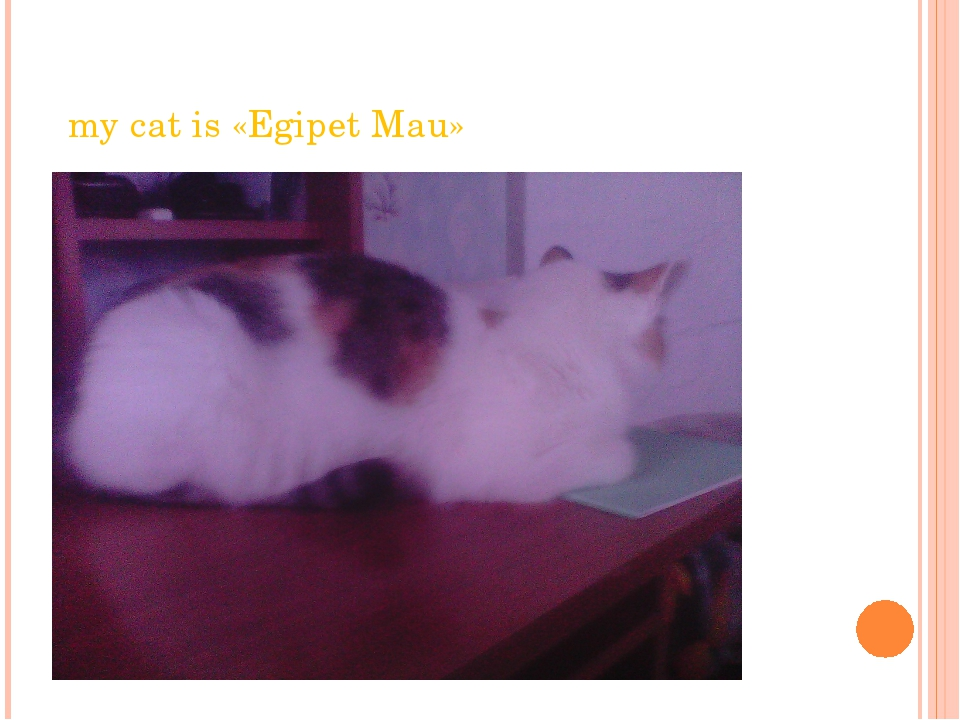 my cat is «Egipet Mau»