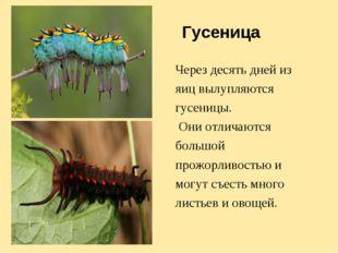 Гусеница Через десять дней из яиц вылупляются гусеницы. Они отличаются большо
