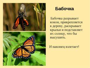 Бабочка Бабочка разрывает кокон, прикрепляется к дереву, раскрывает крылья и